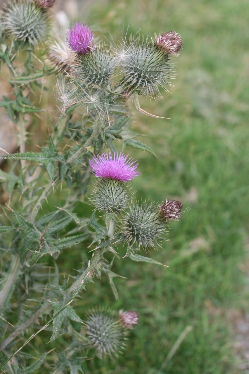 Andrew insisted that I take a photo of the thistle